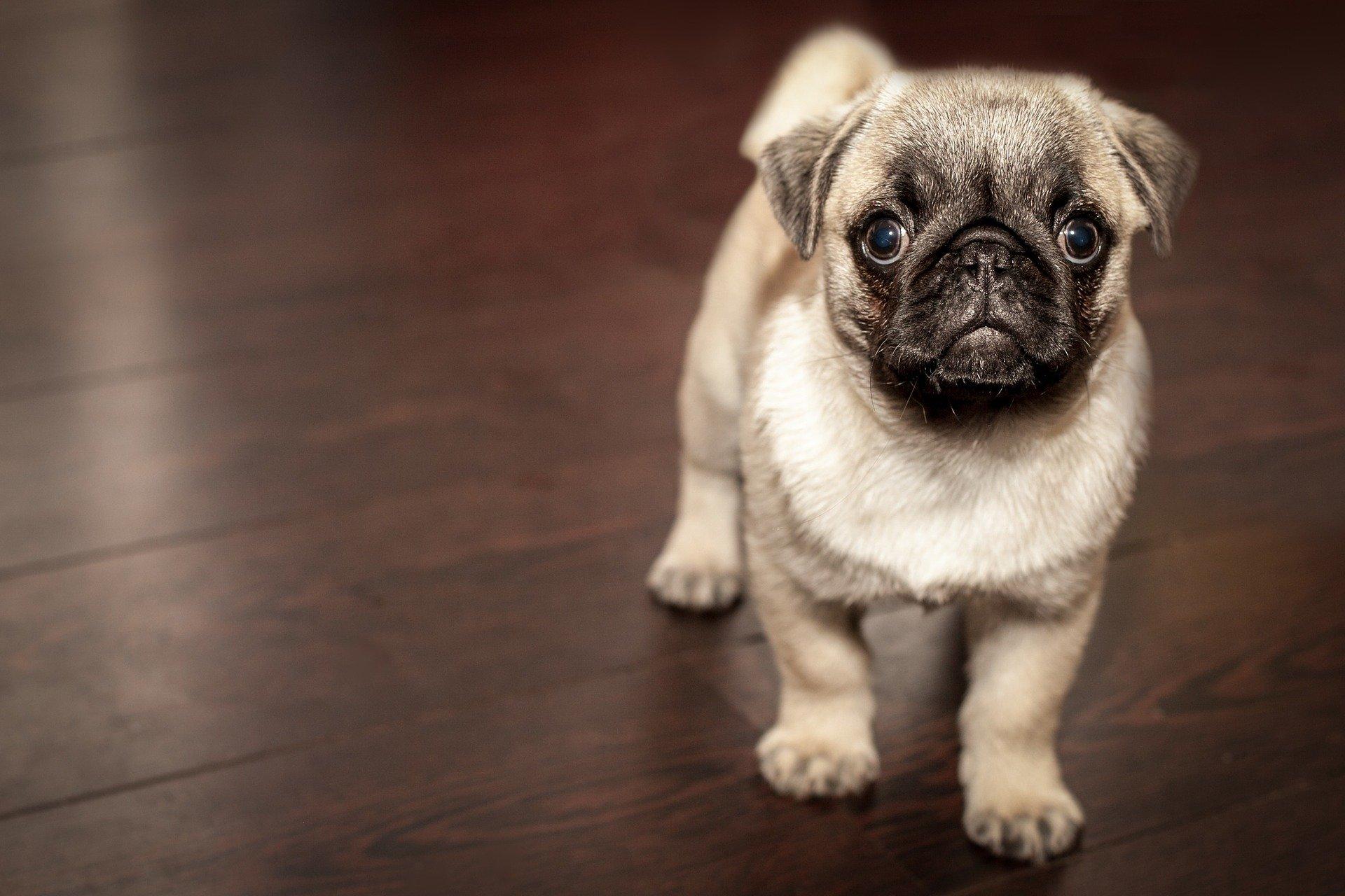 malé štěně